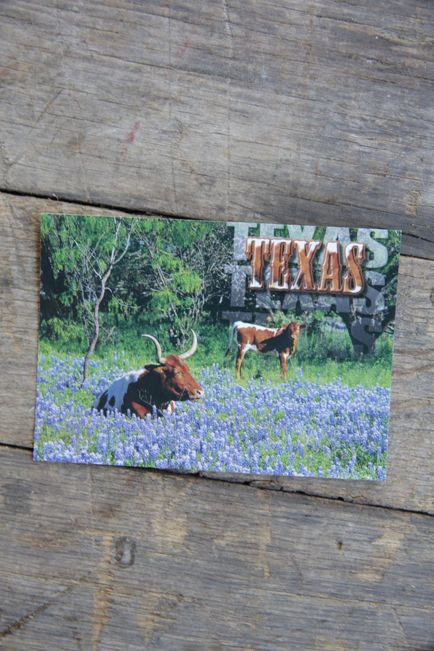 texas longhorns in bluebonnets postcard