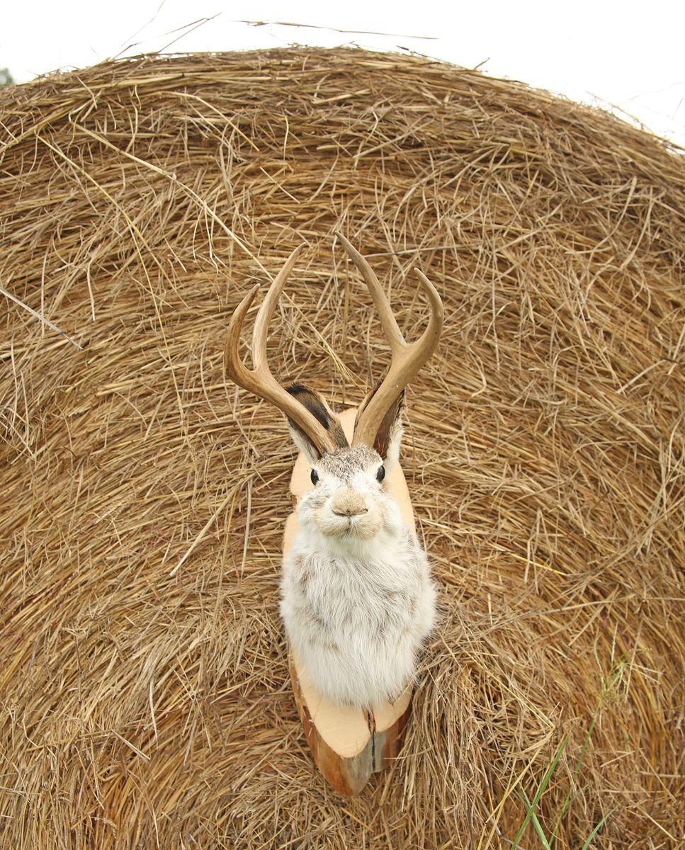 jackalope mount
