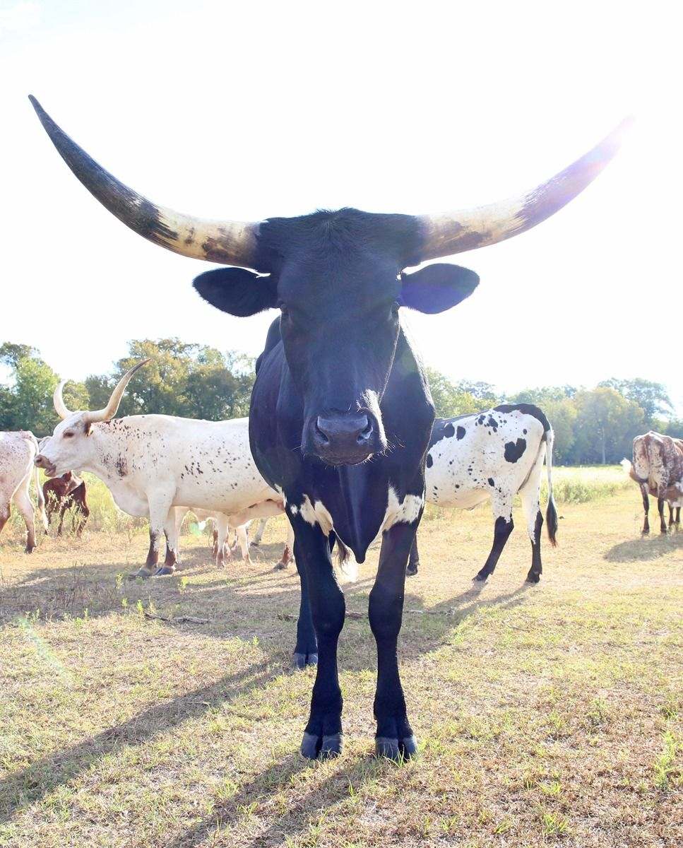 gypsy tango - registered longhorn steer - black & white