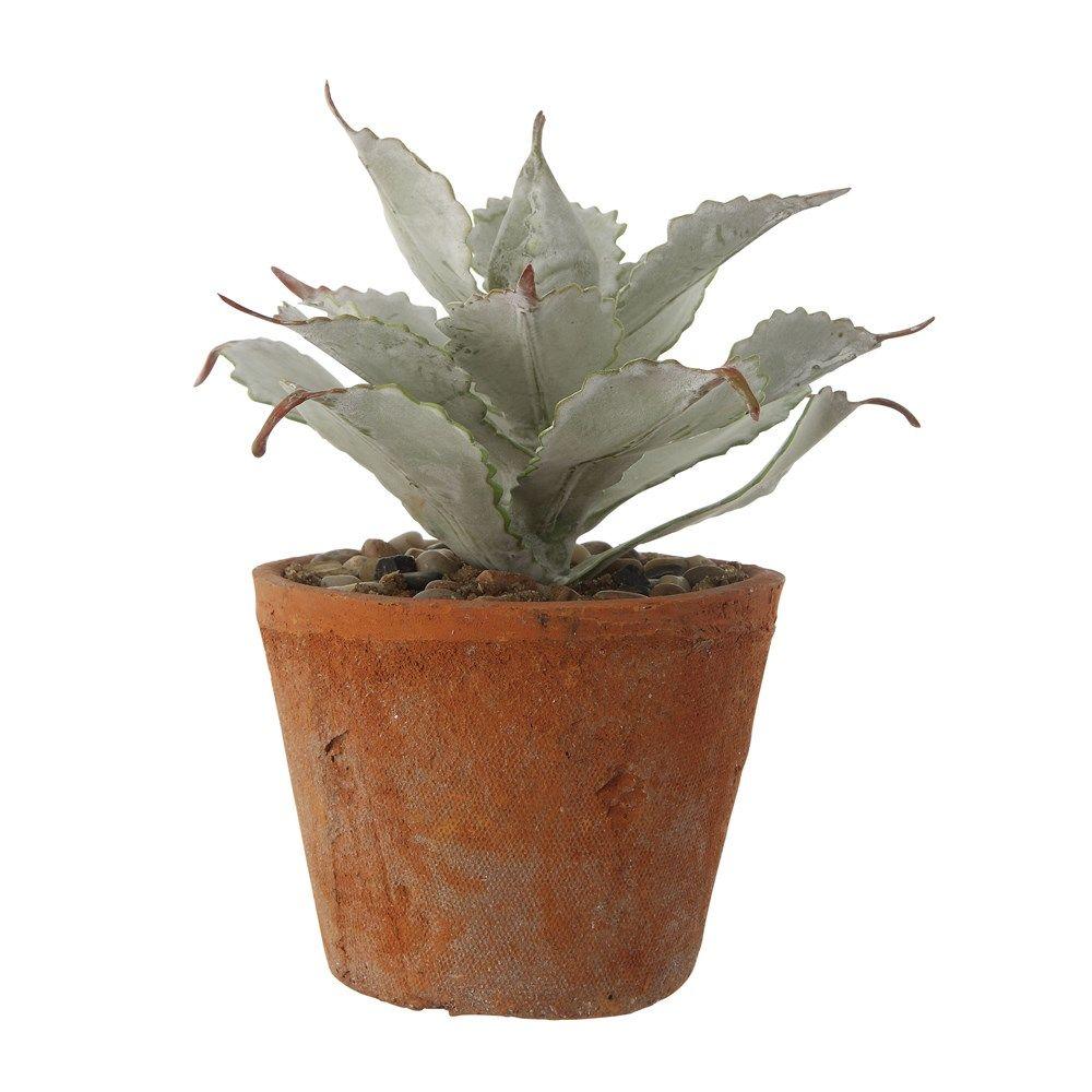 succulent in terracotta pot