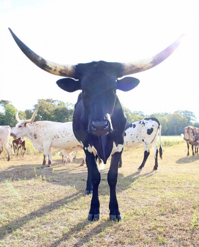 gypsy tango - registered longhorn steer - black & white